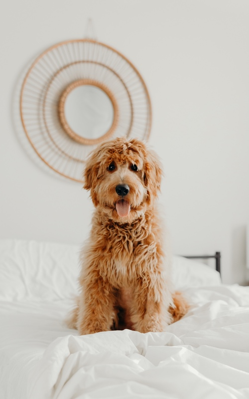 Dog Training Elite provides the best dog training programs  near you for goldendoodles.