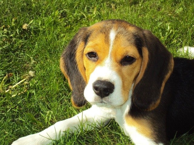 Dog Training Elite has expert dog trainers near you that are experienced in a variety of training methods for Beagles.