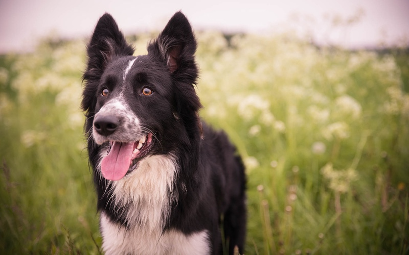 Dog Training Elite has the top border collie training programs near you.